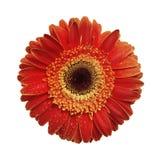 Fleur de Gerbera d'isolement sur le blanc Images stock