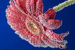 Fleur de Gerbera dans l'eau minérale Photographie stock libre de droits