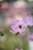 Fleur de Gerbera de marguerite Photo libre de droits