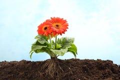 Fleur de Gerbera en terre avec la racine évidente Photographie stock libre de droits