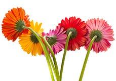 Fleur de Gerbera sur le blanc Photos libres de droits