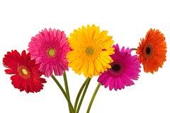 Fleur de Gerbera sur le blanc Photographie stock libre de droits