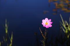 Fleur de Gesang Photographie stock
