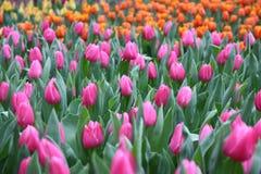 Fleur de Gesneriana de Tulipa dans le jardin Image stock