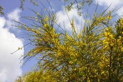 fleur de ginetra Image stock