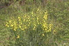 fleur de ginetra Images libres de droits