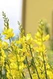 fleur de ginetra Photos stock