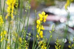 fleur de ginetra Photos libres de droits