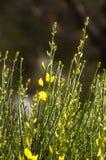 fleur de ginetra Photographie stock libre de droits
