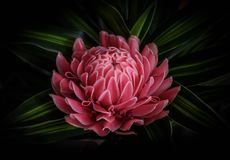 Fleur de gingembre Photographie stock libre de droits