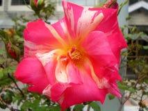 Fleur de glace à la vanille de fraise avec son amour Image stock