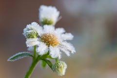 Fleur de glace Photographie stock