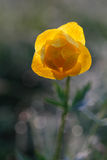 Fleur de globe photos libres de droits
