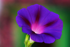 Fleur de gloire de matin. Images libres de droits