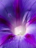 Fleur de gloire de matin Photo libre de droits