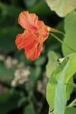 Fleur de gloire de matin dans la fin verte dense de feuillage  photographie stock