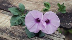 Fleur de gloire de matin, vieux fond en bois photos libres de droits