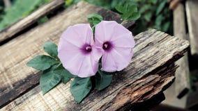 Fleur de gloire de matin, vieux fond en bois image stock