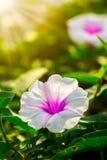 Fleur de gloire de matin à la lumière du soleil de matin photographie stock