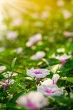 Fleur de gloire de matin à la lumière du soleil de matin pour le fond de nature image libre de droits