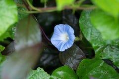 Fleur de gloire de matin avec le saut Image libre de droits