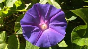 Fleur de gloire de matin en pleine floraison images stock