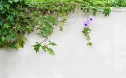Fleur de gloire de matin et x28 ; cairica& x29 d'ipomoea ; fleur sur le mur Image libre de droits