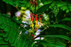 Fleur de Gloriosa image libre de droits