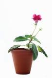 Fleur de Gloxinia d'isolement sur le fond blanc Images libres de droits