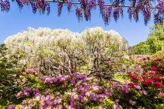 Fleur de glycine Photographie stock libre de droits