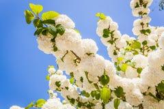 Fleur de glycine Photographie stock