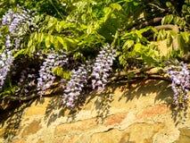 Fleur de glycine avec l'ombre sur un mur Photographie stock libre de droits