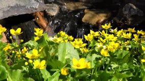 Fleur de Goldifelds et eau de Denver Botanic Gardens banque de vidéos
