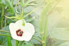 Fleur de gombo Photographie stock libre de droits