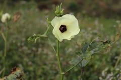 Fleur de gombo images stock