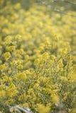fleur de graine de colza (napus de brassica) Photo stock