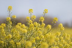 fleur de graine de colza (napus de brassica) Photographie stock libre de droits