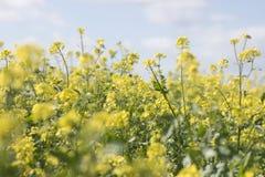 fleur de graine de colza (napus de brassica) Image libre de droits