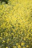 fleur de graine de colza (napus de brassica) Images libres de droits