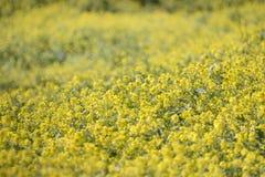 fleur de graine de colza (napus de brassica) Photographie stock
