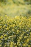 fleur de graine de colza (napus de brassica) Photos libres de droits