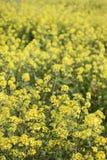 fleur de graine de colza (napus de brassica) Photos stock