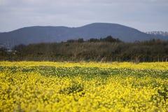 fleur de graine de colza (napus de brassica) Images stock