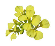 Fleur de graine de colza Photo stock