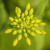 Fleur de graine de colza photo libre de droits