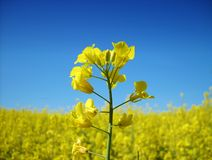 Fleur de graine de colza Image stock