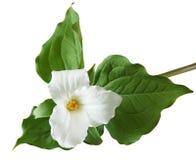 Fleur de grandiflorum de Trillium Image stock