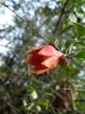 Fleur de grenade photos libres de droits