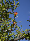 Fleur de grenade en fleur Images libres de droits