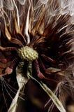 Fleur de Groundsel photos libres de droits